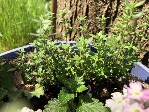 Thyme in garden pot
