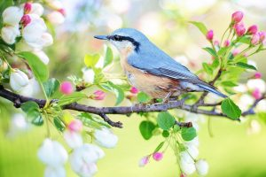 A blue bird on the branch of a flowering tree
